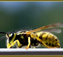 Yellow jacket by Hollie Nass