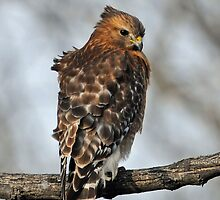 Red-shouldered Hawk by photosbyjoe