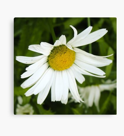 Big Chamomile 4 Canvas Print