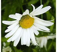 Big Chamomile 4 Photographic Print