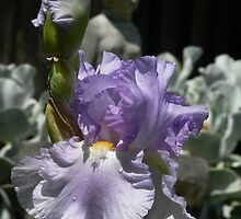 "Bearded Iris - ""Lavender Park"" by louisegreen"