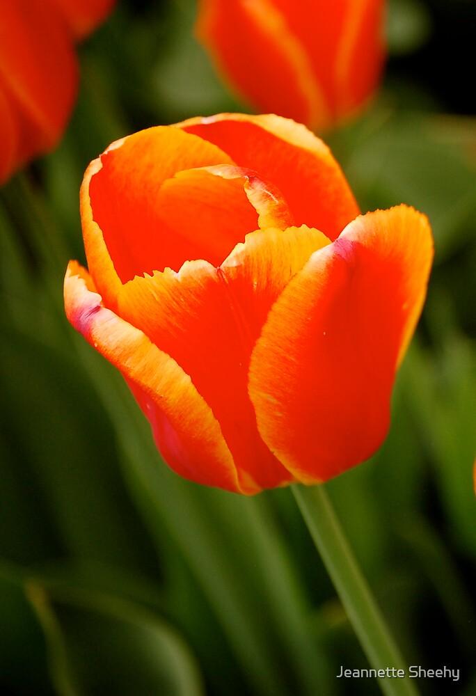 Tulip by Jeannette Sheehy