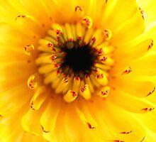 Colourful Calendula by Caroline Scott
