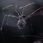 Spider Clan by Karen Zimmerman