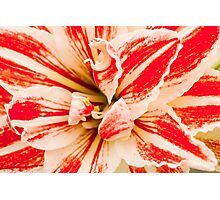 Hippeastrum Flower - Racing Red Photographic Print