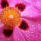 Water drops on pink by AlexMac