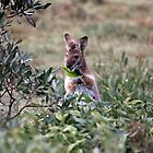 Red necked Wallaby. by Normf