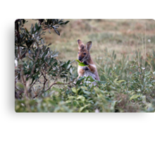 Red necked Wallaby. Metal Print