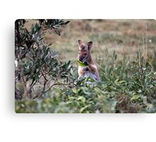 Red necked Wallaby. Canvas Print