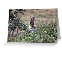 Red necked Wallaby. Greeting Card