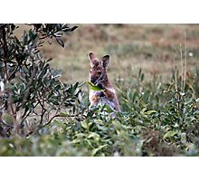 Red necked Wallaby. Photographic Print