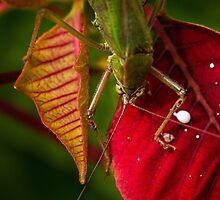 Territorial grasshopper by Celeste Mookherjee