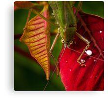 Territorial grasshopper Canvas Print