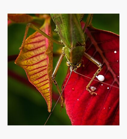 Territorial grasshopper Photographic Print