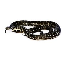 Broad-Headed Snake (Hoplocephalus bungaroides) Photographic Print