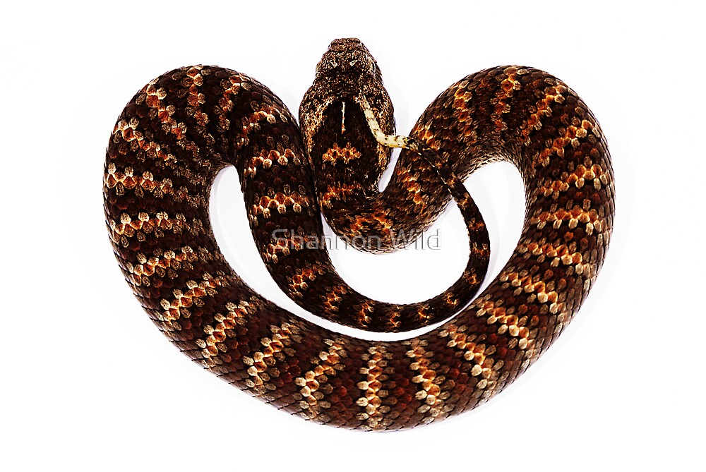 Common Death Adder (Acanthophis antarcticus) by Shannon Benson