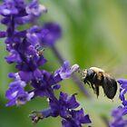 Bee by Chris van Raay