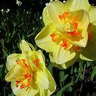 Double Daffodils by lezvee