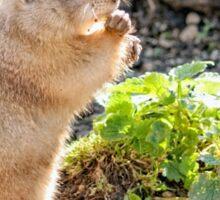 Prairie Dog Eating. Sticker