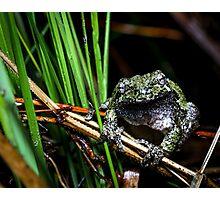 Gray Treefrog among reeds (Hyla versicolor) Photographic Print