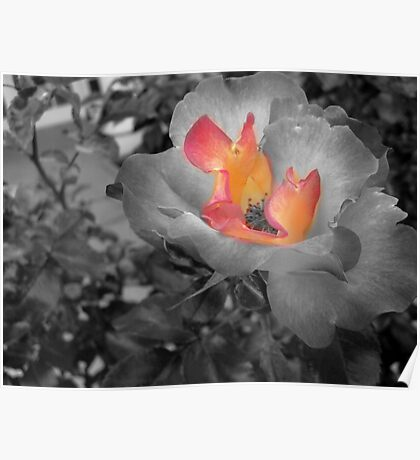 black and white rose with a splash of color Poster