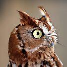 Screech Owl by BigD