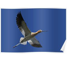 Avocet breaks through blue Poster