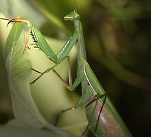 Lady Mantis by Renee Dawson