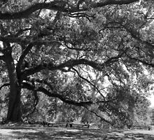 Majestic Oaks by Bonnie T.  Barry