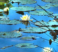 Lillypads in blue by wadesimages