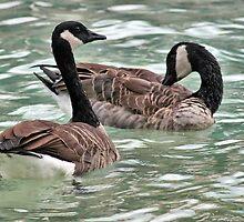 Canadian Geese by cdudak