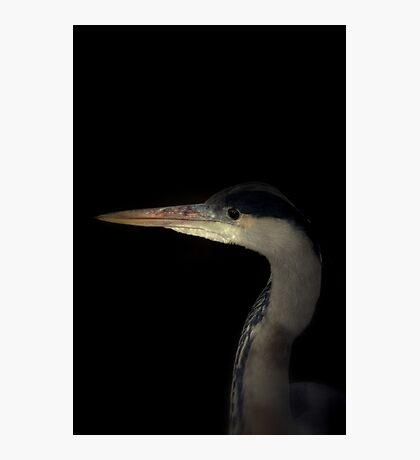Grey Heron portrait  Photographic Print