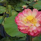 Oga Lotus by Jeanette Varcoe.