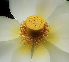 White Lotus. by Jeanette Varcoe.