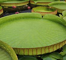 Giant Amazon lily pad. by Jeanette Varcoe.