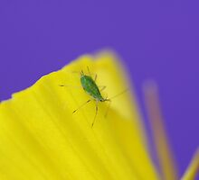 Aphid by sarah ward