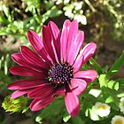 Vibrant Pink Cape Daisy Enjoying Autumn Sunshine by BlueMoonRose