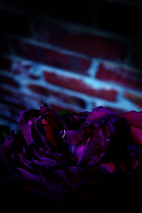 Roseacia by Godfrey Blackwood