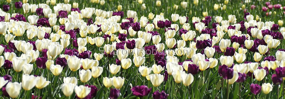 Purple & White Tulips by Sharon Robertson