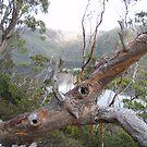 Tasmanian snow gum at Cradle Mt by gaylene