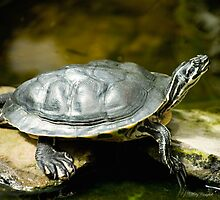 Turtle Rest by Mary Campbell