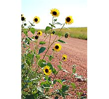 Sunflowers along country road Photographic Print