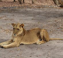 Young Lioness by RolandArnold