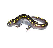 Spotted Salamander - whitebox Photographic Print