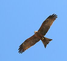 Raptor on the Wing by RolandArnold