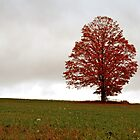 Red Maple by BigD