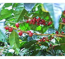 El Salvador #4 - Ripe coffee fruit beans Photographic Print