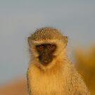 Vervet Monkey by Leon Rossouw