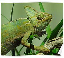 Strolling Veiled Chameleon Poster