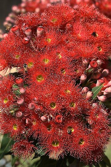 Mass Display - Eucalyptus Flowers by Joy Watson